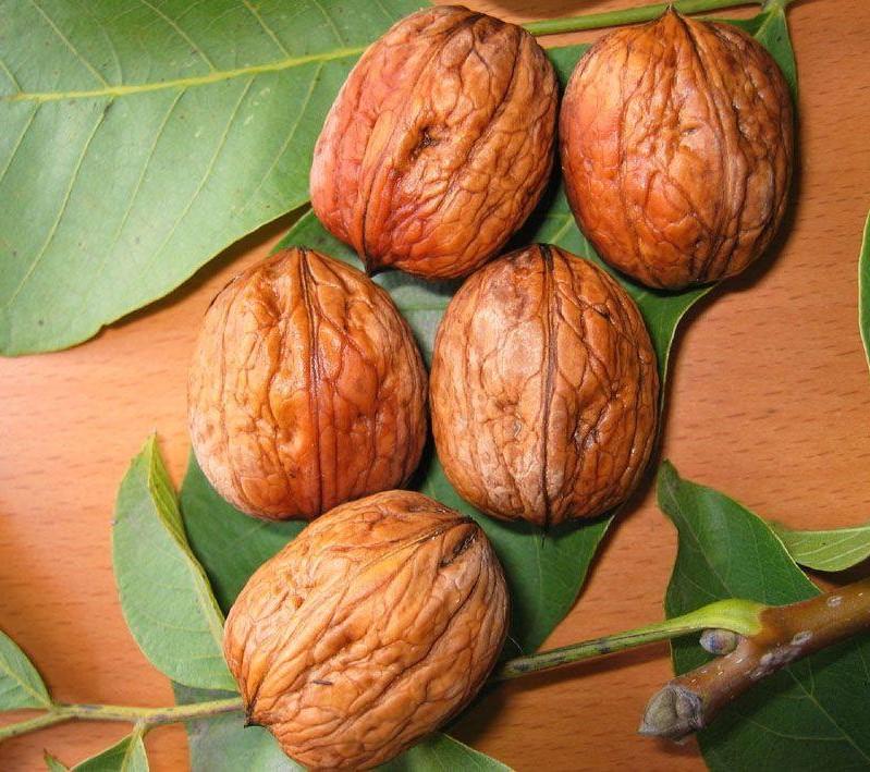 sadnice oraha šejnovo