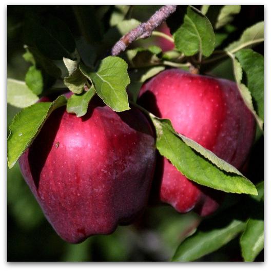 sadnice jabuke crveni delišes