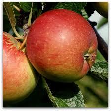 sadnice jabuke breburn