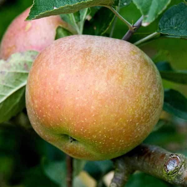 sadnice jabuke budimka