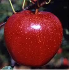jabuka gala