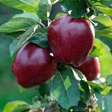sadnice jabuke prodaja red cif