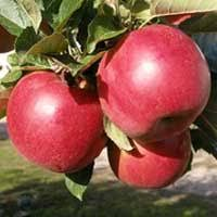 sadnice jabuke sumatovka